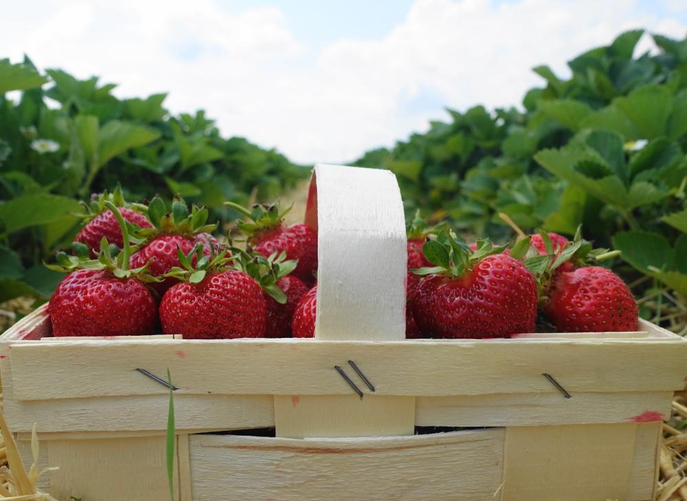 Erdbeeren selbst pflücken, Erdbeerfeld, Erdbeerparadies, Erntefeld, österreichische Erdbeeren, Superfood, #erdbeerliebe