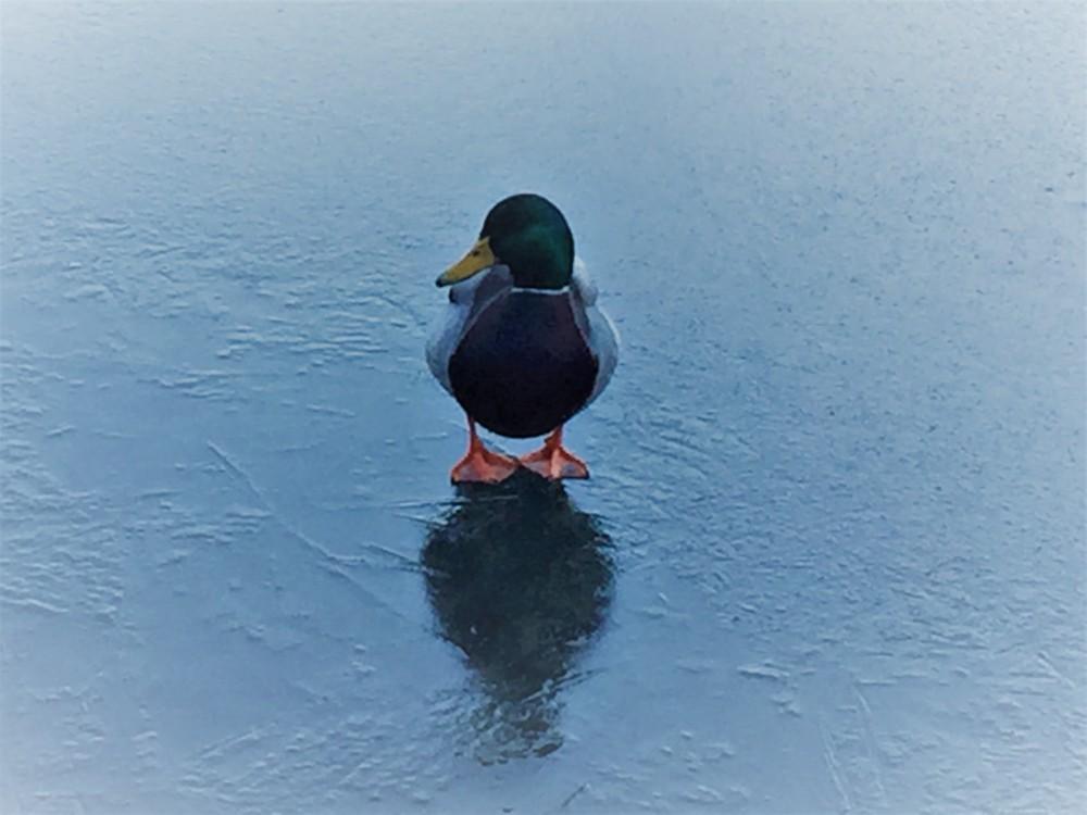 Ente auf Eis