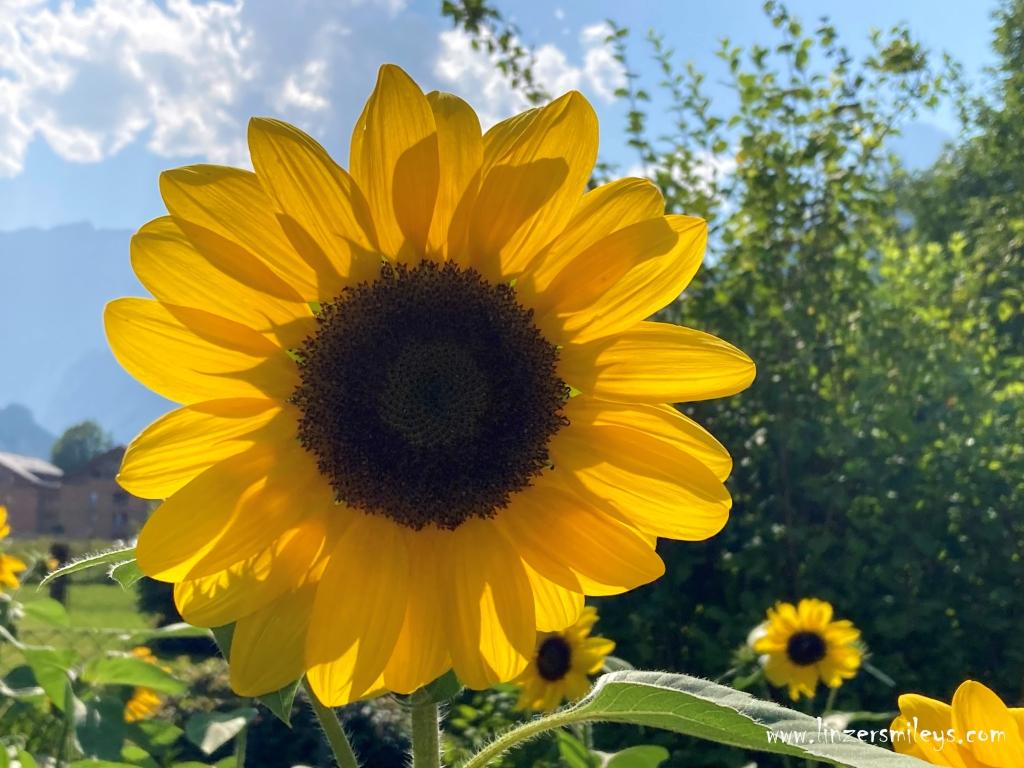Sonnenblume, Helios, Sonnengott, Wanderurlaub, Stodertal, Hinterstoder, Oberösterreich, wandern, Wanderglück, Sommer, Sonne, Sommerurlaub, #linzersmileys